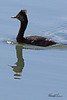 An Eared Grebe taken Apr 10, 2010 in Fruita, CO.