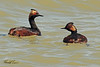 Eared Grebes taken April 22, 2011 near Fruita, CO.