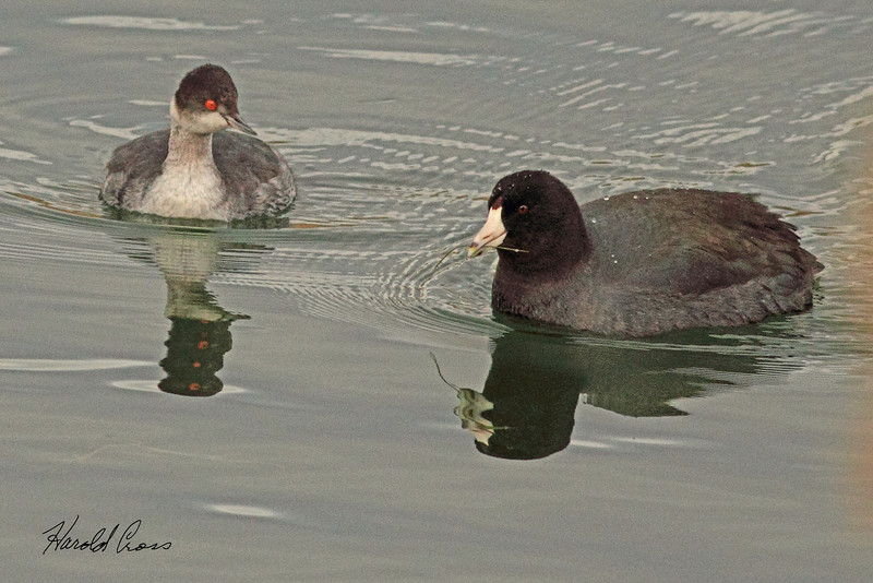 A horned grebe and an American Coot taken Dec. 2, 2010 in Fruita, CO.