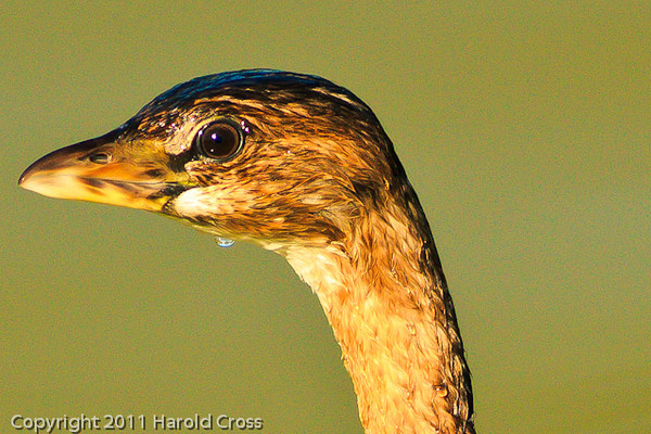 A Pied-billed Grebe taken Oct. 14, 2011 in Grand Junction, CO.