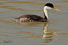 A Western Grebe taken April 28, 2011 near Fruita, CO.