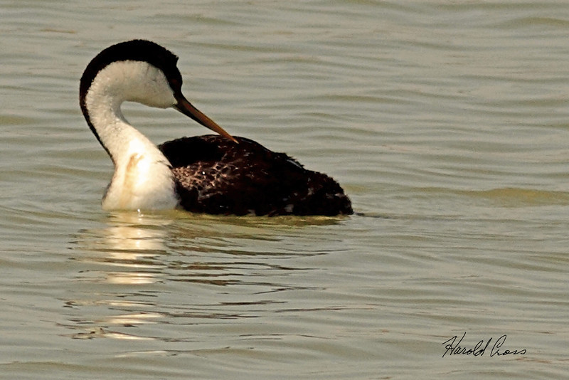 A Western Grebe taken April 15, 2011 near Fruita, CO.
