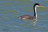 A Western Grebe taken Sep 9, 2010 near Fruita, CO.