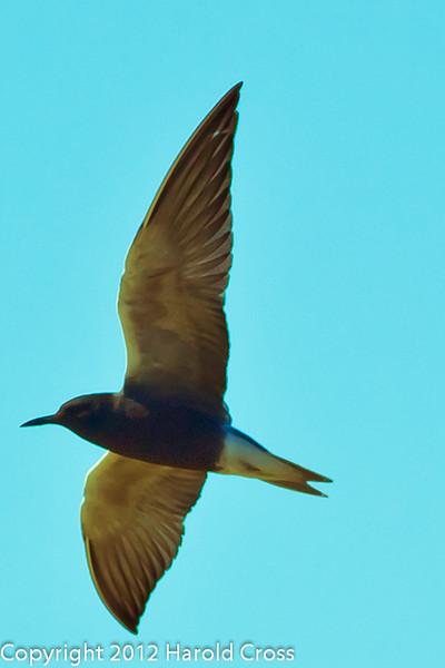 A Black Tern taken May 24, 2012 near Fruita, CO.