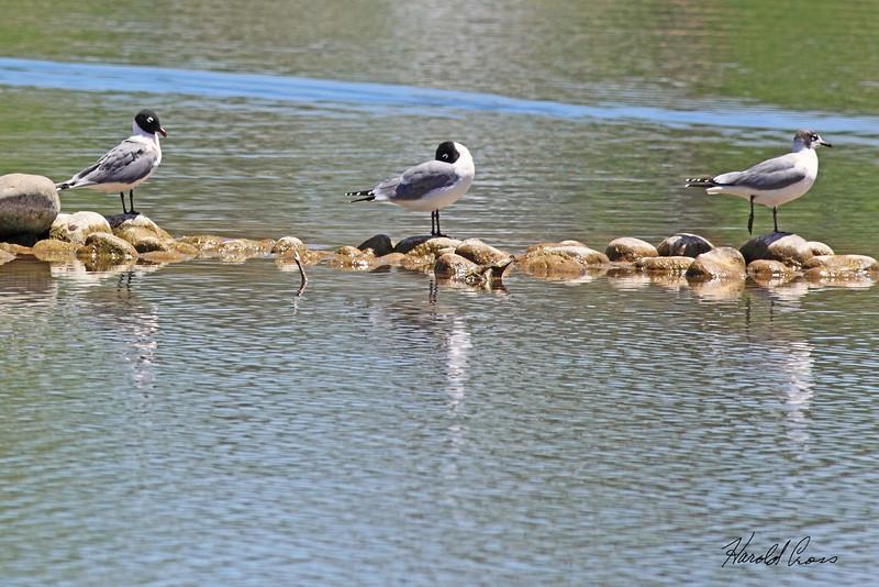 Franklin's Gulls taken May 19, 2010 near Fruita, CO.