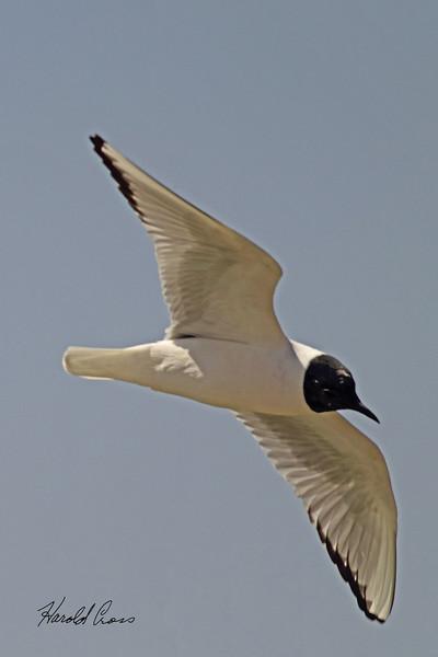 A Franklin's Gull taken April 15, 2011 near Fruita, CO.