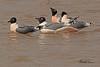 Franklin's Gulls taken April 22, 2011 near Fruita, CO.