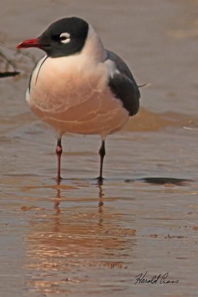 A Franklin's Gull taken April 22, 2011 near Fruita, CO.