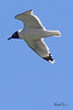 A Franklin's Gull taken May 19, 2010 near Fruita, CO.