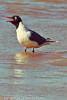 A Franklin's Gull taken May 24, 2012 near Fruita, CO.