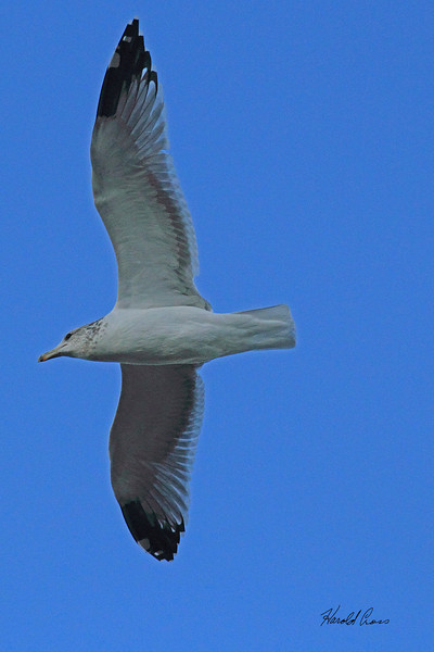 A California Gull taken Sep 21, 2010 in Ogden, UT.