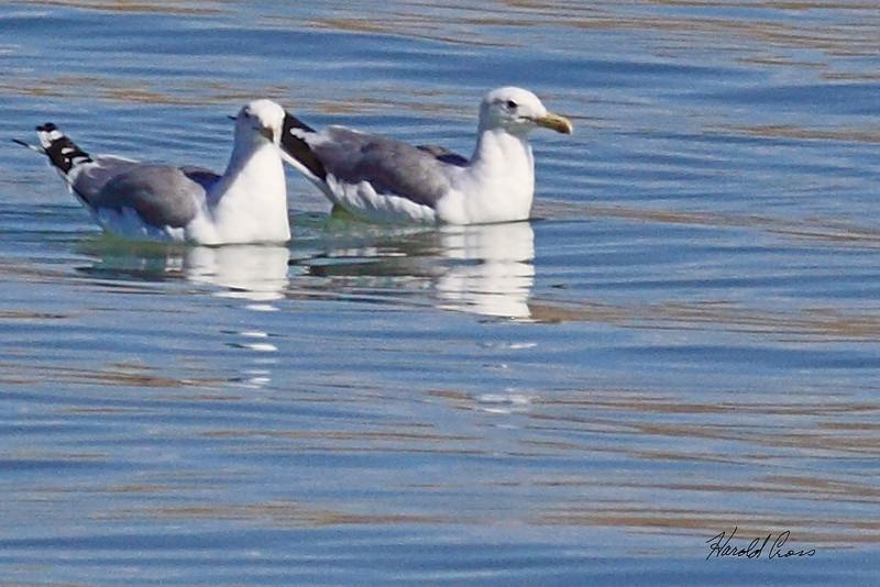 California Gulls taken Aug 20, 2010 near Fruita, CO.