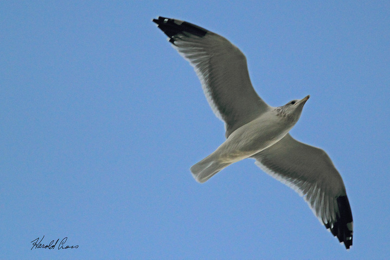 A California Gull taken Sep 21, 2010 in Ogden, UT.