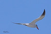 A Caspian Tern taken Apr 23, 2010 near Trinidad, CA.