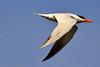 A Caspian Tern taken Jun 12, 2011 near Eureka, CA.