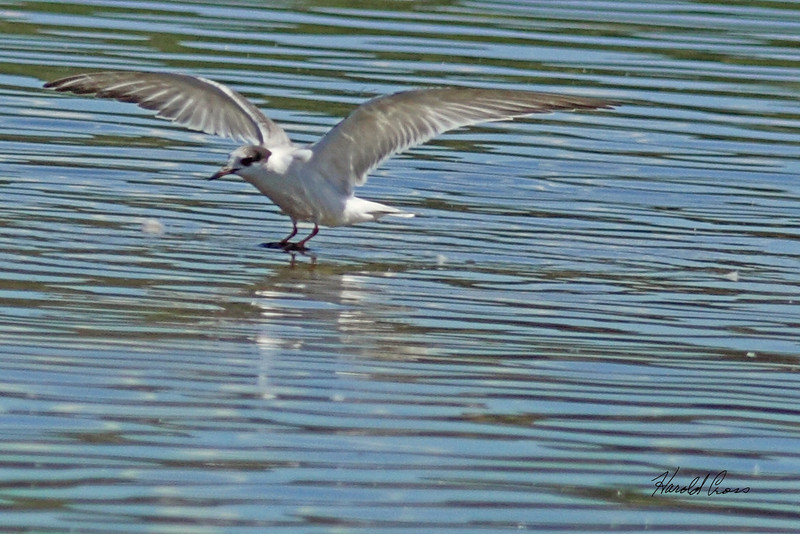 A Common Tern taken Sep 14, 2010 near Fruita, CO.