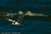 An Elegant Tern taken Sep. 26, 2011 near San Francisco, CA.