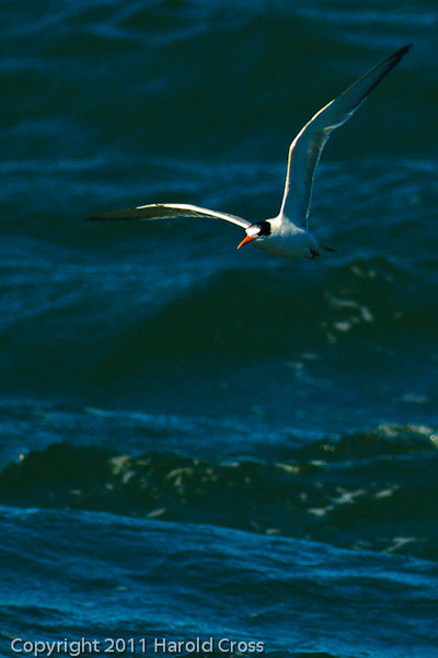 An Elegant Tern taken Sep. 26, 2011 near San Francisco, CA.
