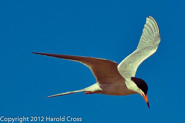 A Forster's Tern taken June 12, 2012 near Brigham City, UT.