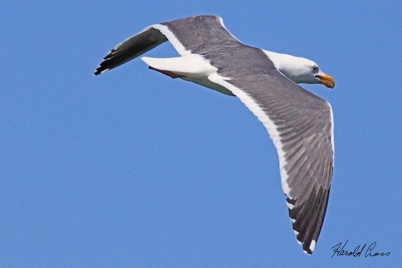 A Glaucous-winged Gull taken April 17, 2010 in Eureka, CA.