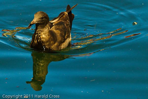 A Heermann's Gull taken Sep. 28, 2011 in Monterey, CA.