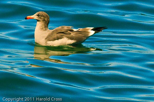 A Heermann's Gull taken Oct. 1, 2011 near Los Angeles, CA.