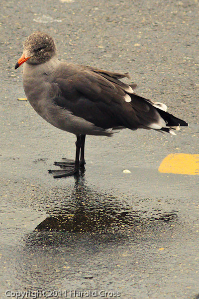 A Heermann's Gull taken Sep. 26, 2011 in San Francisco, CA.