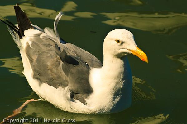 A Herring Gull taken Sep. 26, 2011 near San Francisco, CA.