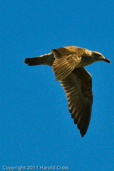 A Herring Gull taken Oct. 1, 2011 near Los Angeles, CA.