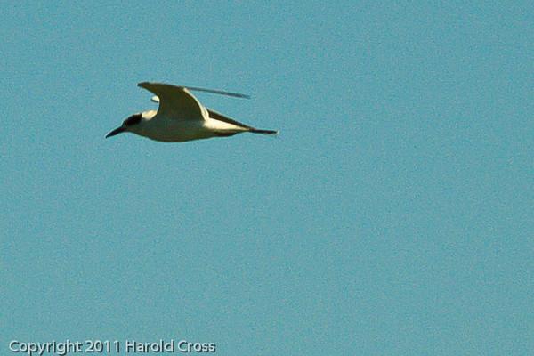 A Least Tern taken Oct. 1, 2011 near Los Angeles, CA.