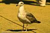 A Mew Gull taken Sep. 28, 2011 in Monterey, CA.