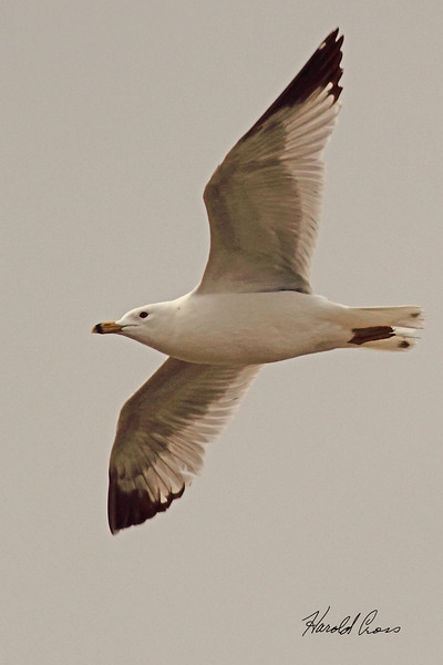 A Ring-billed Gull taken April 20, 2011 near Fruita, CO.