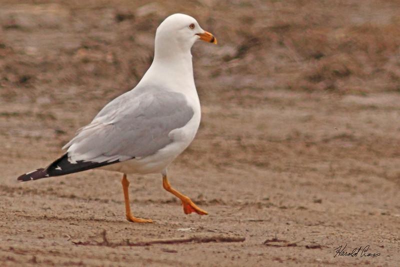 A Ring-billed Gull taken May 31, 2010 near Lake Henry, ID.