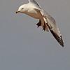 A Ring-billed Gull taken April 22, 2011 near Fruita, CO.