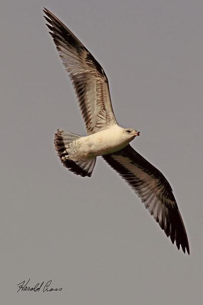 A Ring-billed Gull taken April 12, 2011 near Fruita, CO.
