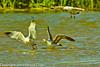 Ringed-bill Gulls taken May 24, 2012 near Fruita, CO.