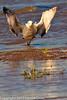 A Ringed-bill Gull taken May 24, 2012 near Fruita, CO.