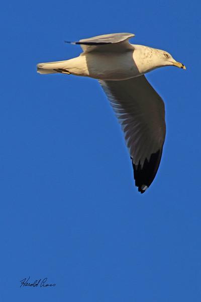 A Ring-billed Gull taken Nov. 1, 2010 near Fruita, CO.