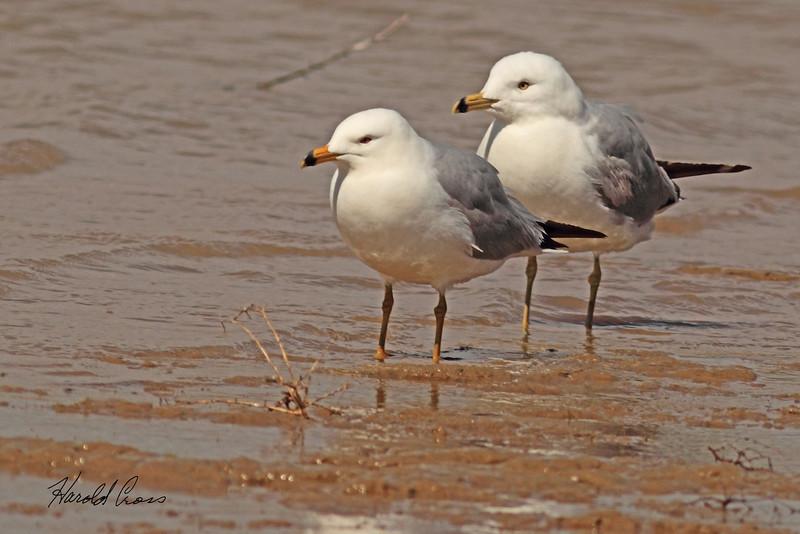 Ring-billed Gulls taken April 22, 2011 near Fruita, CO.
