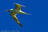 A Royal Tern taken Oct. 1, 2011 near Los Angeles, CA.