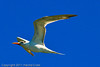 A Royal Tern taken Oct. 1, 2011 near Los Angeles, CA.