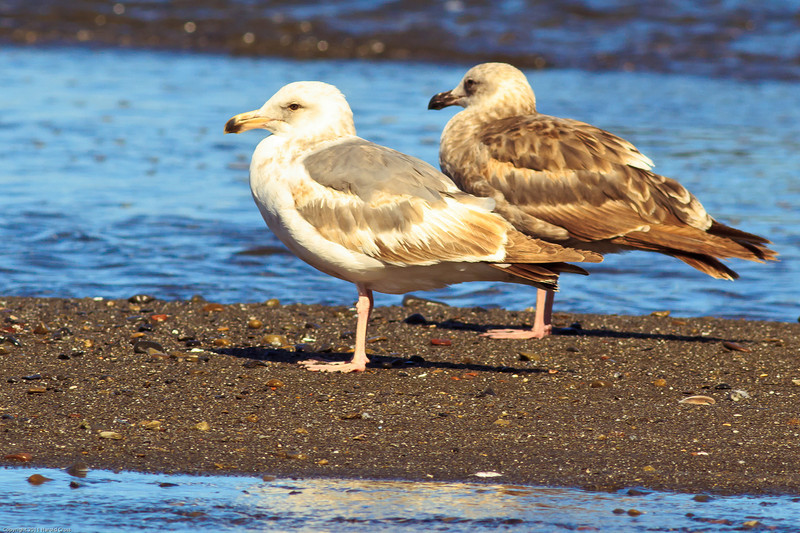 Western Gulls taken June 15, 2011 near Trinidad, CA.
