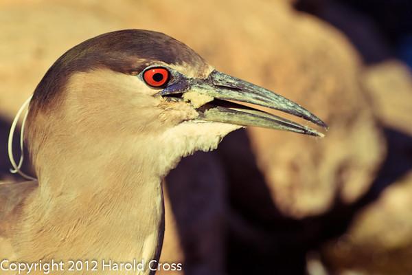 A Black-crowned Night Heron taken Feb. 25, 2012 in Tucson, AZ.