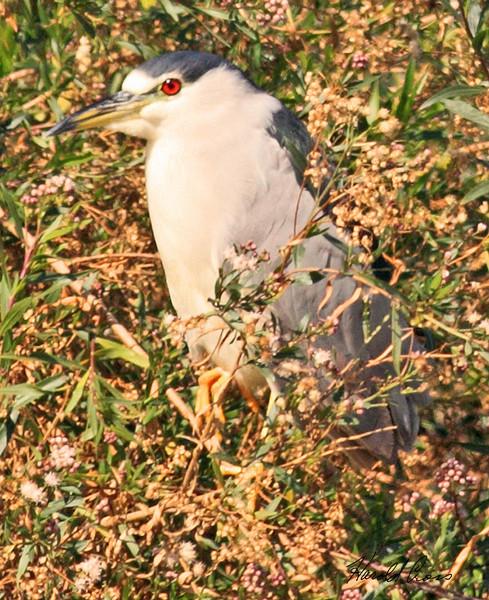 A Black-crowned Night Heron taken Feb 11, 2010 in Gilbert, AZ.