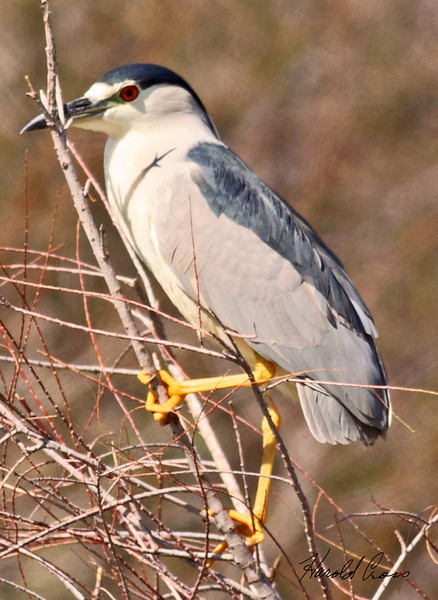 A Black-crowned Night Heron taken Feb 17, 2010 in Gilbert, AZ.
