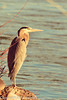 A Great Blue Heron taken Jan. 27, 2012 in Grand Junction, CO.