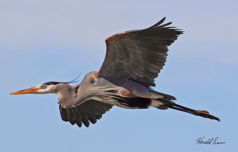 A Great Blue Heron taken Feb 14, 2010 in Gilbert, AZ.