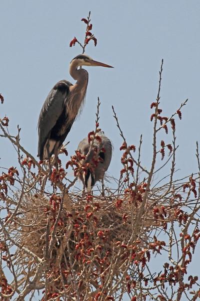 Great Blue Herons taken April 15, 2011 near Fruita, CO.