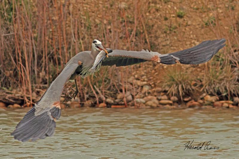 A Great Blue Heron taken April 20, 2011 near Fruita, CO.