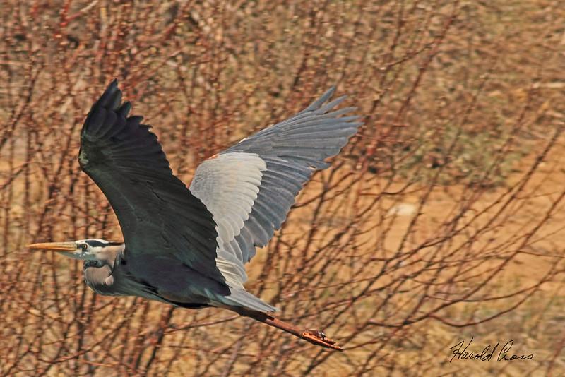A Great Blue Heron taken Apr. 5, 2011 in Fruita, CO.